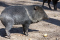 Collared peccary pecari tajacu and an egg Royalty Free Stock Photos