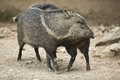 Collared peccary rub against each other a or javelina that has been rooting in the dirt with its nose peccaries are pig like Royalty Free Stock Photos