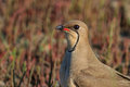 Collared pratincole Royalty Free Stock Photo