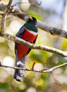 Collared Trogon Royalty Free Stock Photo