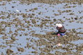Collect wild oyster a taiwan village women at leisure in the estuary to Stock Photo