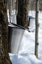 Collecting maple sap Royalty Free Stock Photography
