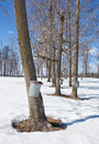 Collecting maple sap in buckets attached to a trees to make maple syrup spring in wisconsin Royalty Free Stock Images