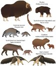 Collection of animals with cubs living in the territory of North and South America: muskox, common raccoon, south american tapir,