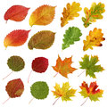 Collection of autumn leaves, aspen and elm, oak and maple, isola Royalty Free Stock Photo