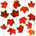 Collection of autumn maple leaves isolated on white