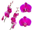 Collection of bright large pink orchid flowers Royalty Free Stock Photo