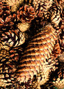 Collection of brown pine cones for backgrounds or textures clo pile close up Stock Photography