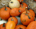 Collection of bumpy lumpy pumpkins a warty which are a specialty ornamental variety also known as super freak Royalty Free Stock Images