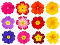 Collection of colorful primroses isolated on white twelve background selection the cute looking red orange yellow pink blue Stock Images