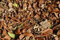 COLLECTION OF FALLEN LEAVES UNDER A PECAN NUT TREE