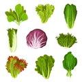 Collection of fresh salad leaves, radicchio, lettuce, romaine, kale, collard, sorrel, spinach, mizuna, healthy organic