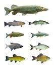 Collection grande d'un poisson d'eau douce. Photo libre de droits