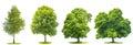 Di verde alberi acero betulla