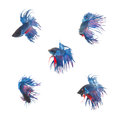 Collection Group of blue siamese fighting fish