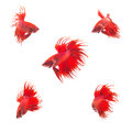 Collection Group of orange red siamese fighting fish