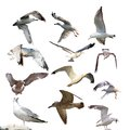 Collection of isolated gulls larus argentatus over white background Royalty Free Stock Images