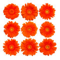Collection of isolated orange gerberas blossom Stock Image