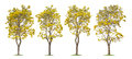 Collection of Isolated Silver trumpet trees or Yellow Tabebuia on white background Royalty Free Stock Photo