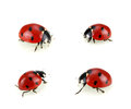 Collection of ladybugs isolated on white Stock Photography