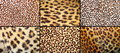 Collection of leopard pelt textures real fur Stock Images