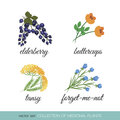 Collection of medicinal plants on a white background set elderberries buttercup tansy forget me not Stock Photos