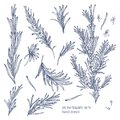 Collection of monochrome drawings of rosemary plants with flowers isolated on white background. Fragrant herb hand drawn Royalty Free Stock Photo