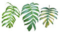 Collection of Monstera pholodendron plant leaves, the tropical e Royalty Free Stock Photo