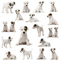 Collection of Parson Russell Terrier puppies Royalty Free Stock Image