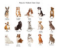 Collection of popular medium size dogs a group fifteen different family breed Stock Image