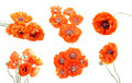 Collection of red poppies Royalty Free Stock Images