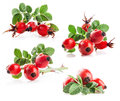 Collection of rose hips Stock Image