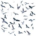Collection of seagulls in flight. sea birds. Royalty Free Stock Photo