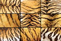 Collection of tiger fur closeups Royalty Free Stock Photo