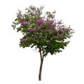 Collection of trees with purple flower isolated on white background Royalty Free Stock Photo