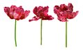 Collection of tulips isolated on white background coral red stem clipping path Stock Photography