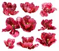Collection of tulips isolated on white background. Vector path!