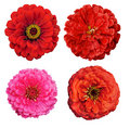 Collection of Zinnia elegans flowers Stock Image