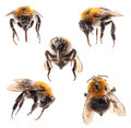 Collections of bumblebee isolated on white background Royalty Free Stock Image
