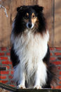 Collie Arkivfoton