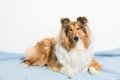 Collie Stock Images