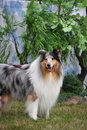 Collie, Obrazy Royalty Free