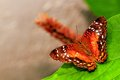 Collie butterfly standing on green leaf in aviary a an world south florida Royalty Free Stock Photo