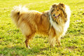 Collie dog Royalty Free Stock Photography