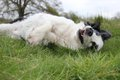 Collie dog rolling in a grass field Royalty Free Stock Photo