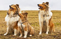 Collie dogs Royalty Free Stock Photos