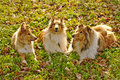 Collie dogs Royalty Free Stock Photo
