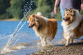 With collie dogs at a lake