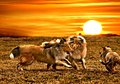 Collie dogs playing