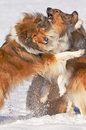 Collie dogs in snow Royalty Free Stock Photography